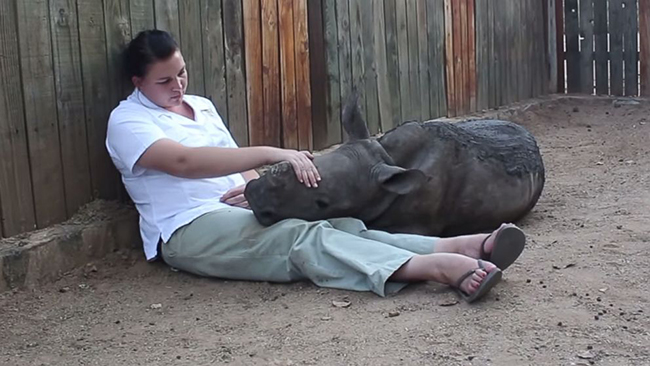 ht_baby_rhino_gertjie_hoedspruit_endangered_species_centre_jc_140610_16x9 _992