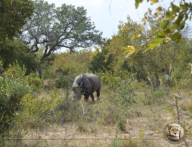 Rhino-bull-14