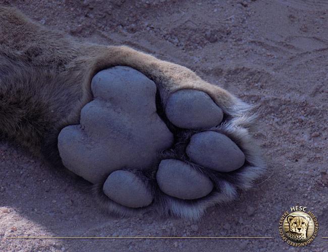 Caser's-paw