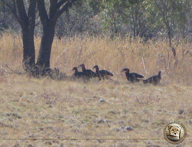 Group-of-groundhornbills