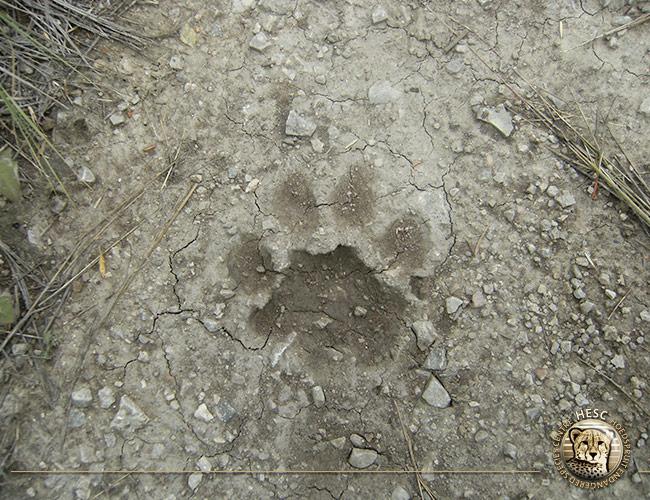Lion-track