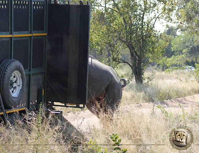 Rhino-bull-5