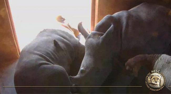 Rhinos-&-Lammie