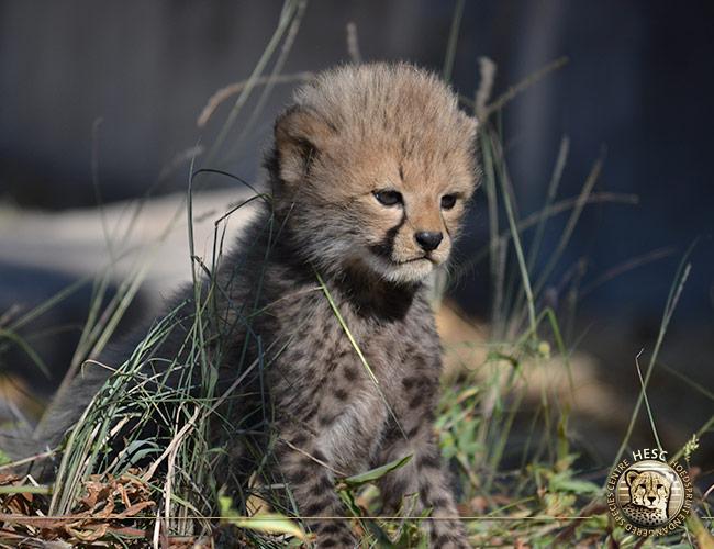 Salome's-cub