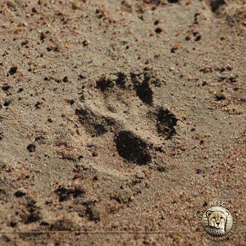 Wild-dog-track