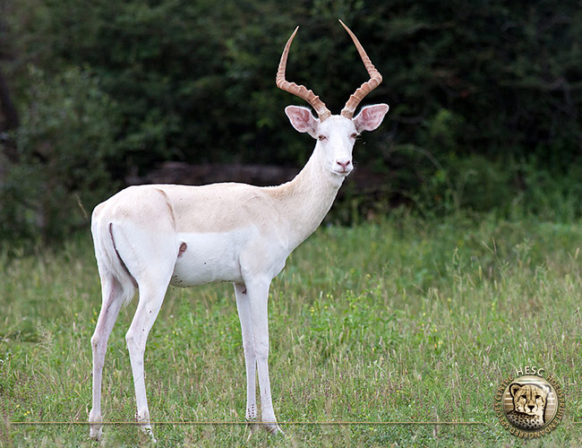 Albino-impala