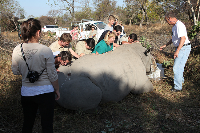 Assisting with the treatment of a poached rhino