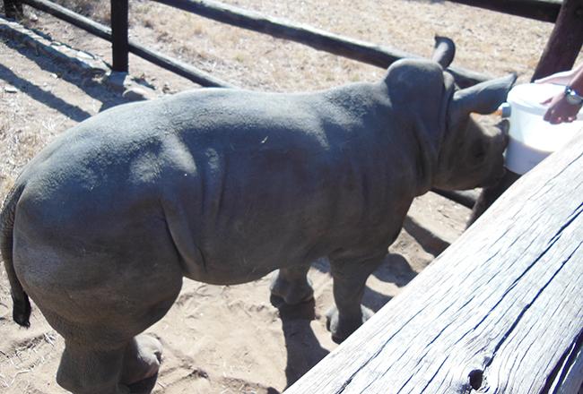 Feeding Gertjie the rhino