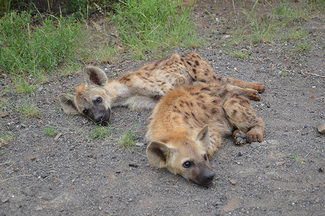 Hyena pups in KNP