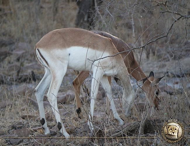 Leucism-impala