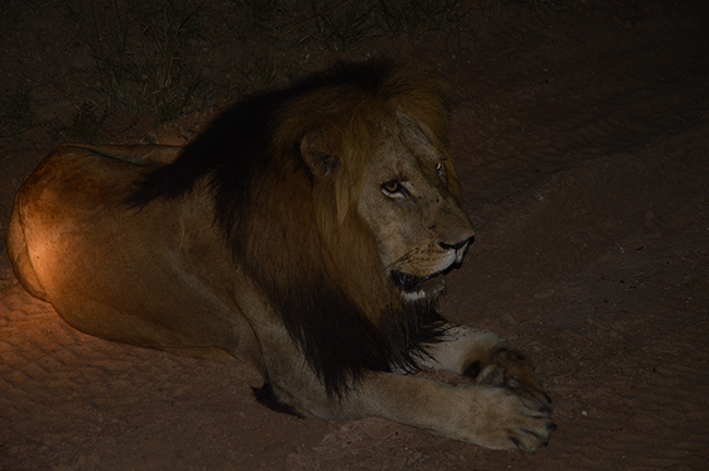 Male lion on Kapama Game Reserve