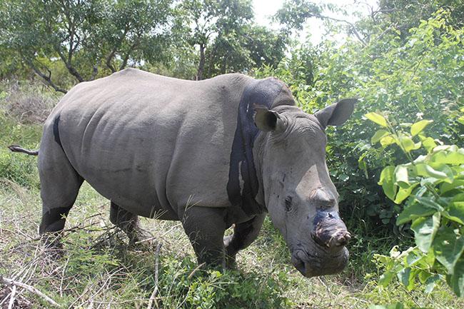 HESC_LionDen_Rhino_17Jan15-125