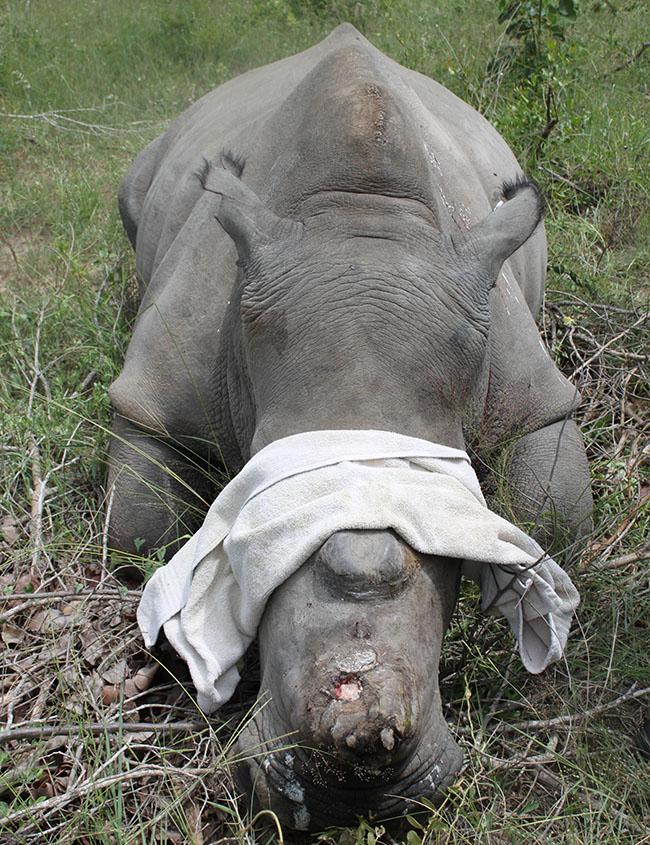 HESC_LionDen_Rhino_17Jan15-30