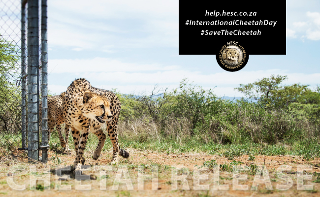 HESC-CheetahRelease-Banner-2015