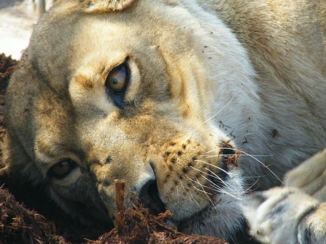 Sarah the lioness