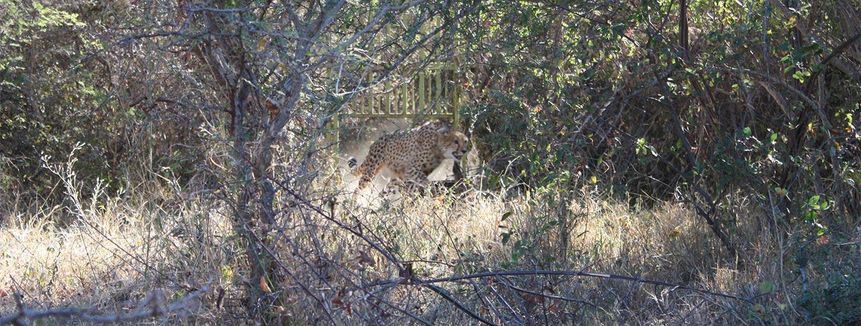 HESC-Cheetah-Release