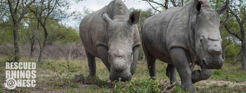 HESC-Rescued-Rhinos