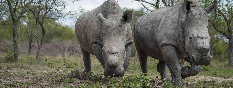 HESC_Rhino_Survivors_LionDen_DingleDell_Nov15_1-copy