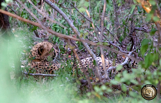 Aschanti - released cheetah