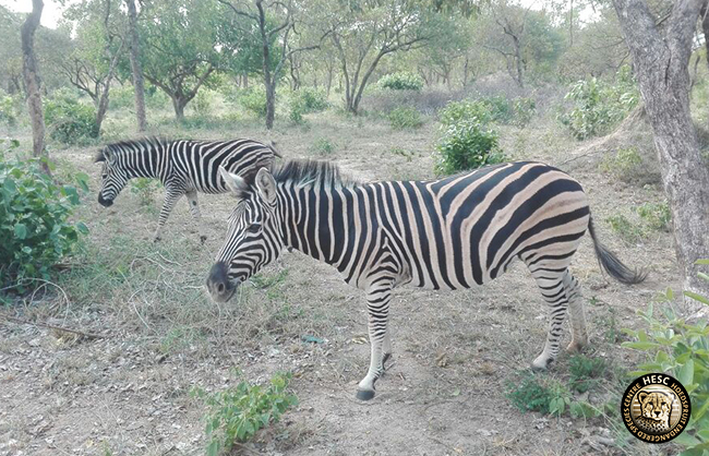 Zeta the zebra and her mate