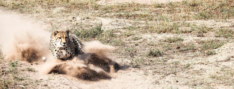 Cheetah Sprinting at HESC