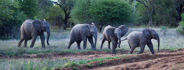 HESC-African-Elephant