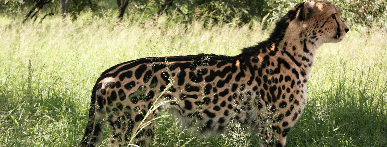 King Cheetah Hesc