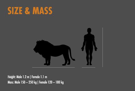 Lion | HESC