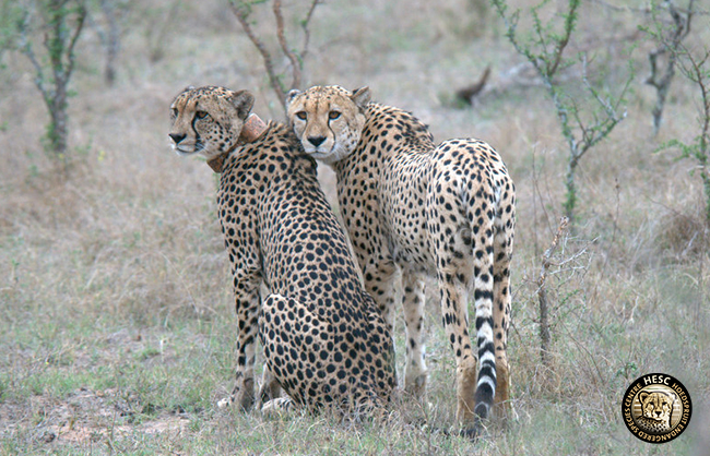 Blue Canyon Male Cheetahs