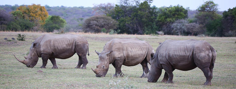 HESC- White-Rhino