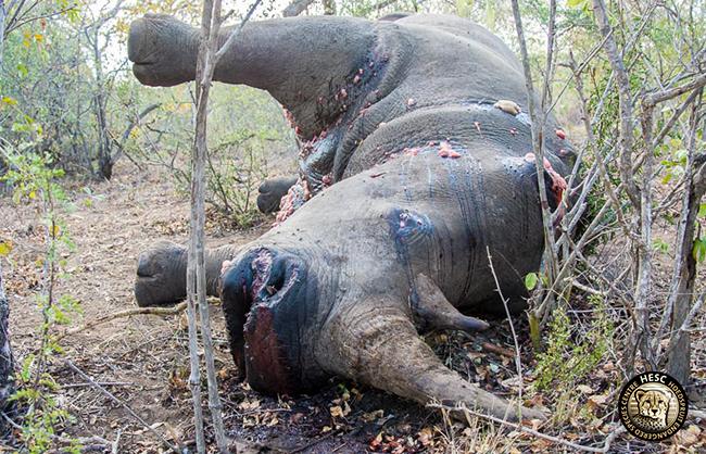 Dead rhino cow
