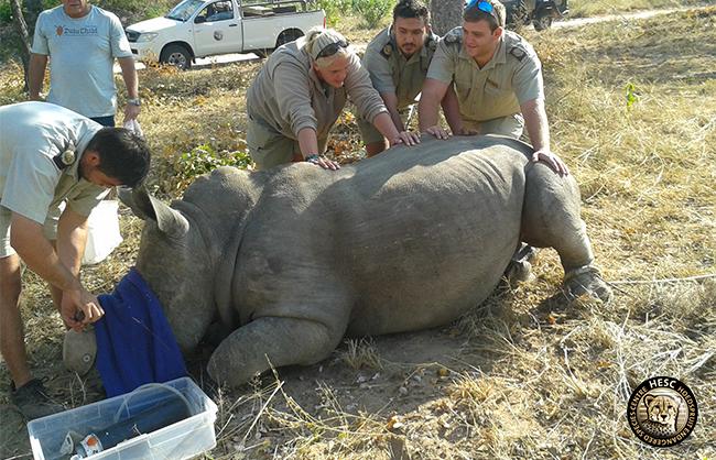 Rhino cow, Philippa's treatment