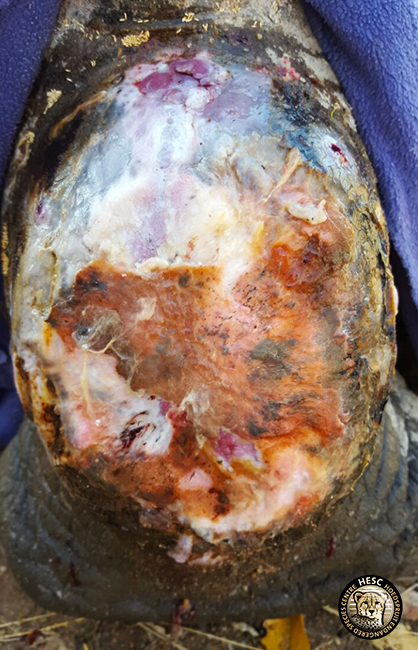 Rhino, Philippa's wound treatment at HESC