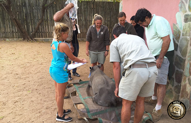 Rhino Khulula weighed on arrival at HESC
