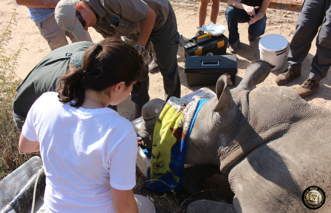 Rhino Philippa's treatment procedure at hesc