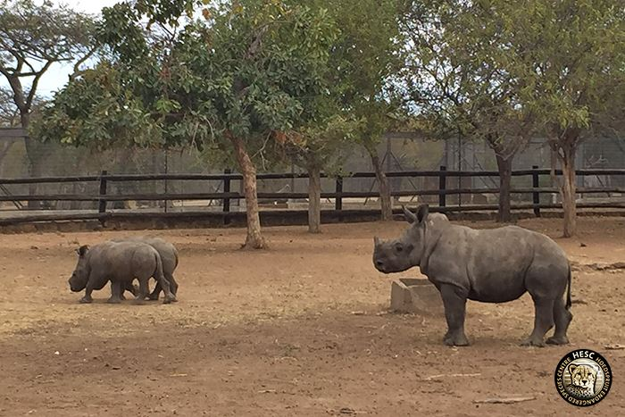 Rhinos - Khulula, Muddy and Baby N