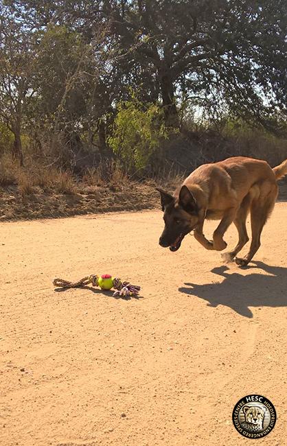Zee - anti-poaching dog