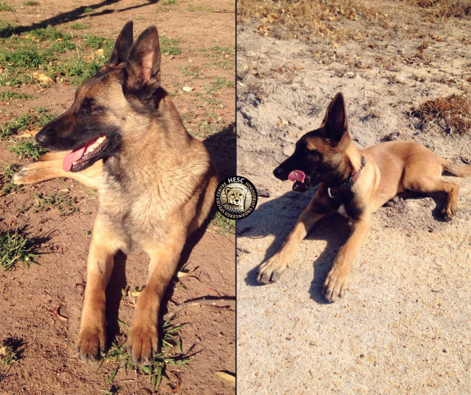 Zee and Bullet - Anti poaching dogs at HESC