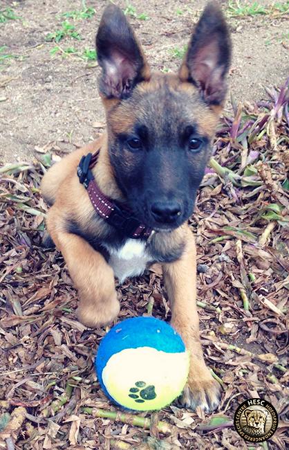 Bullet - anti poaching dog at HESC