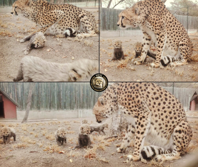 Cheetah mom & cubs at HESC