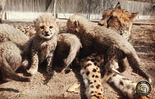 Cheetah mom & cubs at HESC