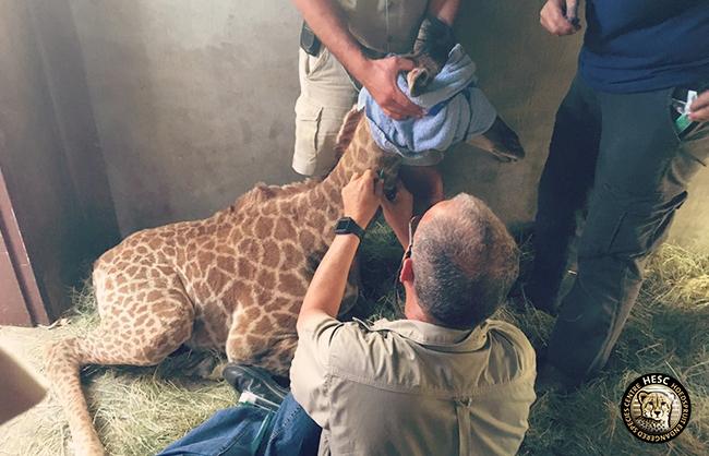 baby giraffe at HESC
