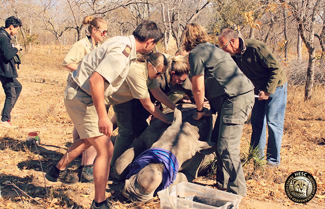 Rhino Philippa at HESC