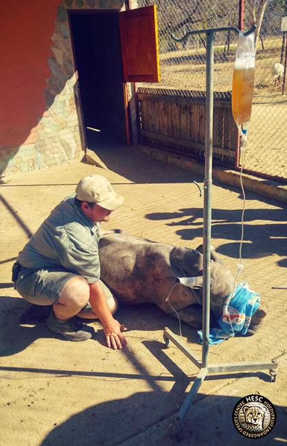 Nhlanhla the rhino plasma transfusion