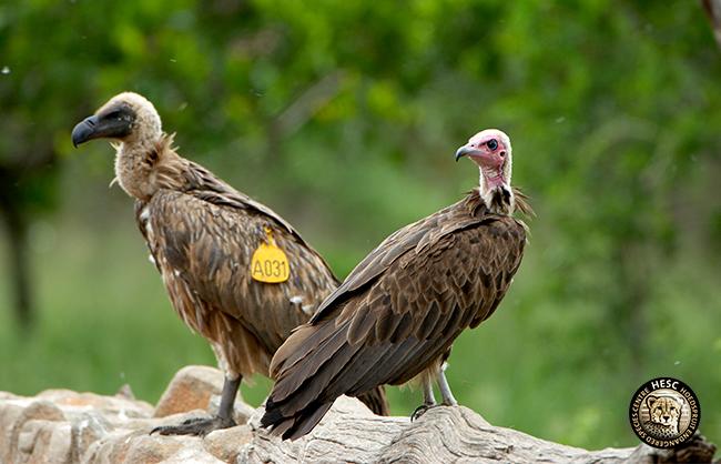 Hooded Vultures_HESC
