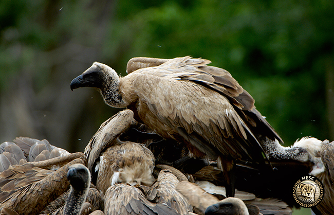 hooded vultures at HESC