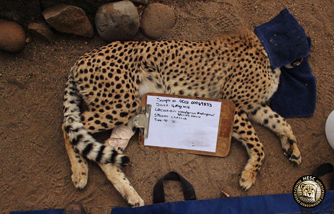 hesc_cheetah_dna_jun16-2