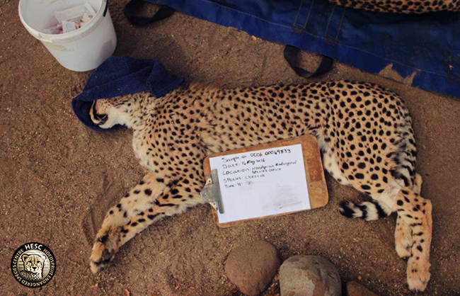 hesc_cheetah_dna_jun16-6