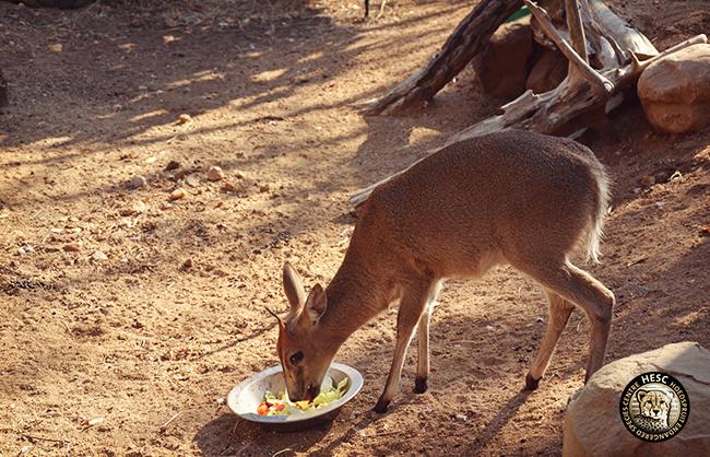 bokkie-bok-feeding_WCE_HESC