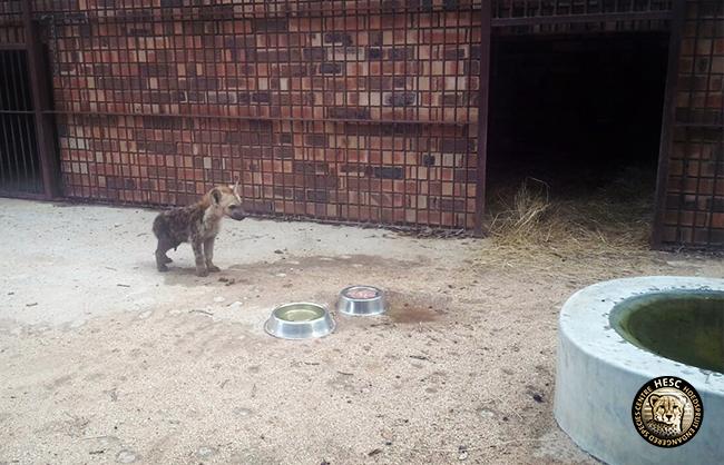 Hyena pup at HESC
